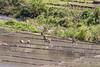 Planting rice shoots, near Detusoko, East Nusa Tenggara, Indonesia