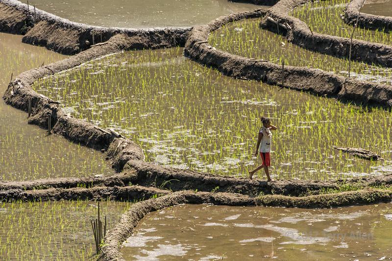Young woman walking on mud terraces between rice paddies, near Detusoko, East Nusa Tenggara, Indonesia
