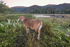 Early morning with cow and 'Japanese water buffalo', Moni, East Nusa Tenggara, Indonesia
