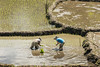 Two woman standing in a rice paddy planting rice shoots, near Detusoko, East Nusa Tenggara, Indonesia