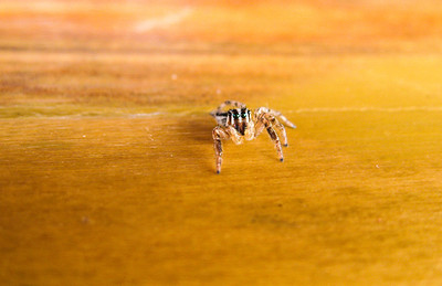 Energetic amputee jumping spider — Gili Trawangan Island, Indonesia