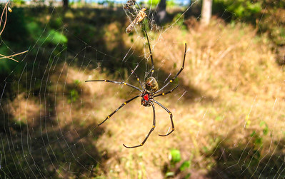 Huge Spider outside my bungalow — Gili Trawangan Island, Indonesia