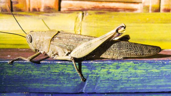 Grasshopper — Gili Trawangan Island, Indonesia