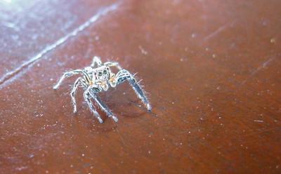 Jumping spider — Gili Trawangan Island, Indonesia