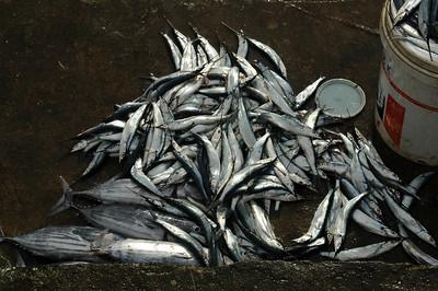 Kupang  - Hemiramphidae (halfbeaks)