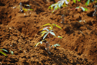 Young cassava plant