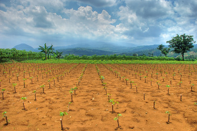 A newly planted cassava field, clouds, and mountains