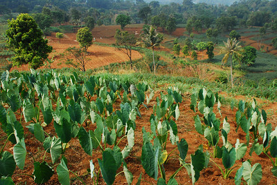 Taro and dry season fields