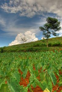 Taro (Colocasia esculenta) field