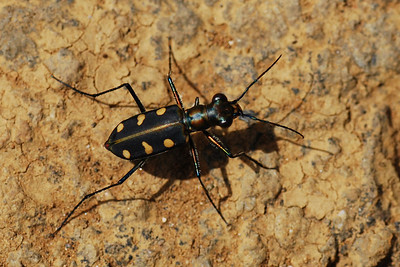 A gold-spotted beetle