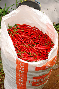 A harvest of chilies