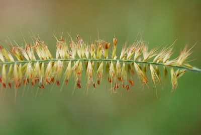 Close-up of a grass head