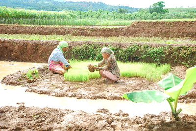 Women getting rice seedlings