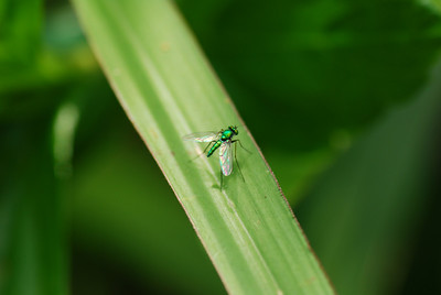 A bright green fly