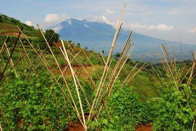 Mount Salak and bean poles
