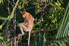 Female proboscis monkey (Nasalis larvatus) sitting on a branch in the late day light, Tanjung Puting NP, Kalimantan, Indonesia