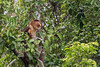 Mature male proboscis monkey (Nasalis larvatus) in the jungle, Tanjung Puting National Park, Kalimantan, Indonesia
