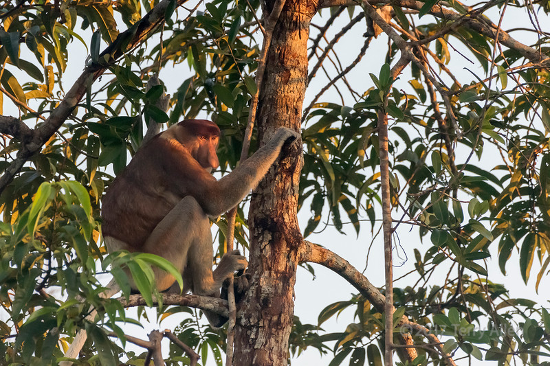 Mature male Proboscis monkey in golden late day light, Sekonyer River, Tanjung Puting NP, Indonesia