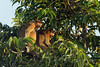 Female proboscis monkeys in tree top, Sekonyer River, Tanjung Puting National Park, Indonesia