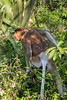 Mature male proboscis monkey (Nasalis larvatus) in the trees, Tanjung Puting National Park, Kalimantan, Indonesia