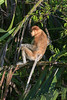 Female proboscis monkey (Nasalis larvatus) sitting on a branch in the late day light, vertical, Tanjung Puting NP, Kalimantan, Indonesia
