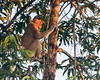 Big male proboscis monkey sitting in a tree at sunset, Sekonyer River, Tanjung Puting NP, Indonesia