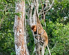Mother proboscis monkey and small baby swinging through the trees, Tanjung Puting NP, Indonesia