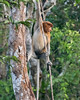 Female proboscis monkey hanging onto a vine in the forest, Sekonyer River, Tanjung Puting National Park, Indonesia