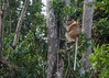 Proboscis monkey in the tree tops, Tanjung Puting NP, Indonesia