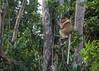 Proboscis monkey in the tree tops, Tanjung Puting NP, Indonesia