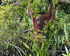 Wild orangutan peeking out from the bushes by the Sekonyer River, Tanjung Puting NP, Kalimantan Province, Indonesia