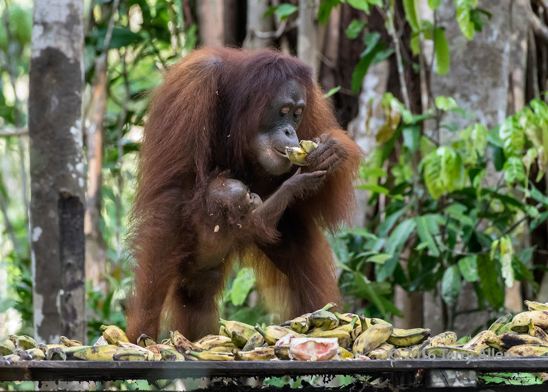 Young baby orangutan reaching for mother's banana at a feeding station, Tanjung Puting NP, Indonesia