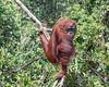Wild orangutan posing for the camera by the Sekonyer River, Tanjug Puting NP, Indonesia