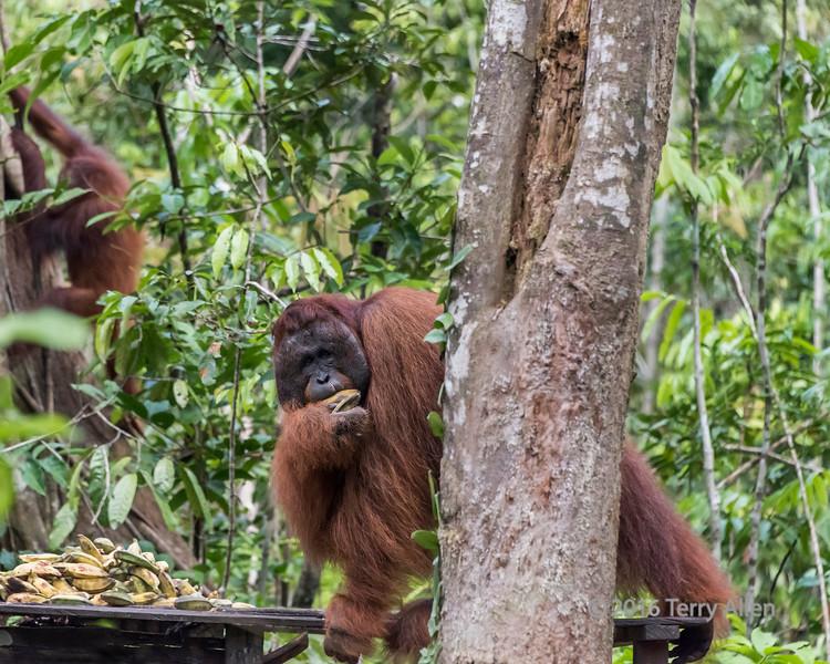 Large male orangutan grabbing some bananas from the feeding platform, Tanjung Puting NP, Kalimatan, Indonesia