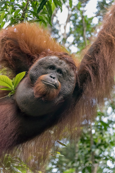Portrait of a red-bearded dominant male oranutan, Tanjung Puting National Park, Kalimantan, Indonesia