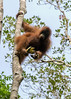 Orangutan high in a tree juggling bananas, Tanjung Puting National Park, Kalimantan, Indonesia