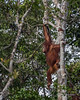 Orangutan leaping through the trees, Tanjung Puting National Park, Kalimatan, Indonesia