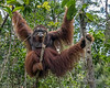 Orangutan posing in a tree