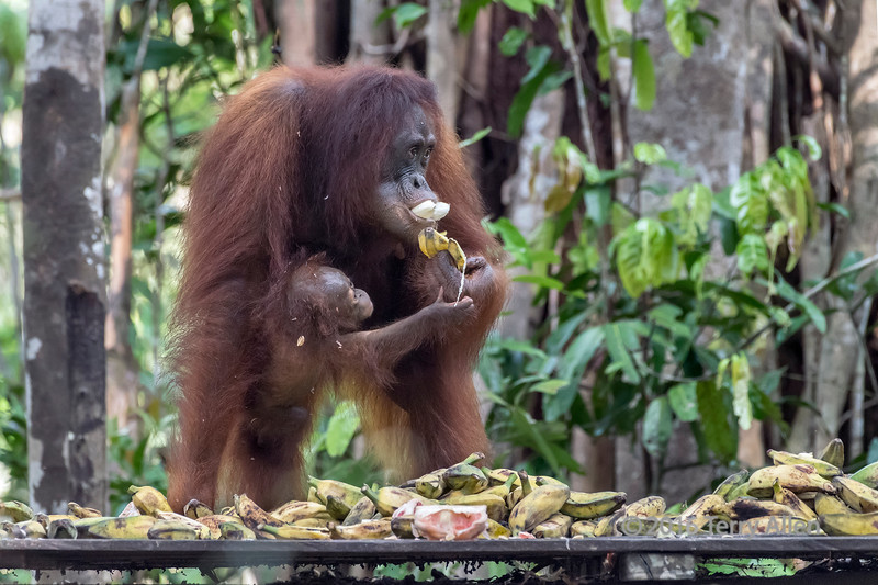 Baby orangutan trying to grab mother's banana at a feeding station, Tanjung Puting NP, Indonesia
