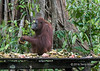 Adolescent orangutan at a feeding station, Tanjung Puting NP, Indonesia