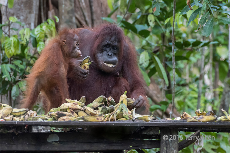Baby orangutan begging mother for a banana from the feeding station, Tanjung Puting NP, Indonesia