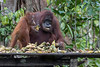 Orangutan at a feeding station