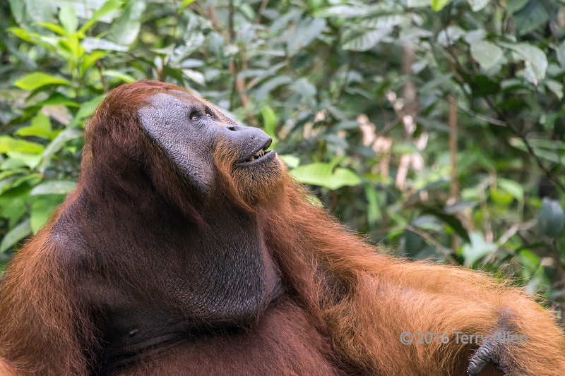 Neck pouch and cheek flats on a mature male Bornean orangutan, Tanjung Puting National Park, Kalimantan, Indonesia