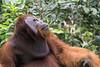 Neck pouch and cheek flats on a mature male Bornean orangutan, Tanjung Puting National Park, Kalimantan, Indonesia