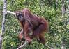 Wild orangutan standing in a tree by the Sekonyer River, Tanjug Puting NP, Indonesia