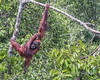 Wild orangutan swinging in a  the tree by the Sekonyer River, Tanjug Puting NP, Indonesia