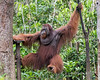 Large dominant wild male orangutan swinging over to the feeding platform, Tanjung Puting National Park, Kalimantan, Indonesia