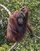Wild orangutan perched in a tree by the Sekonyer River, Tanjug Puting NP, Indonesia