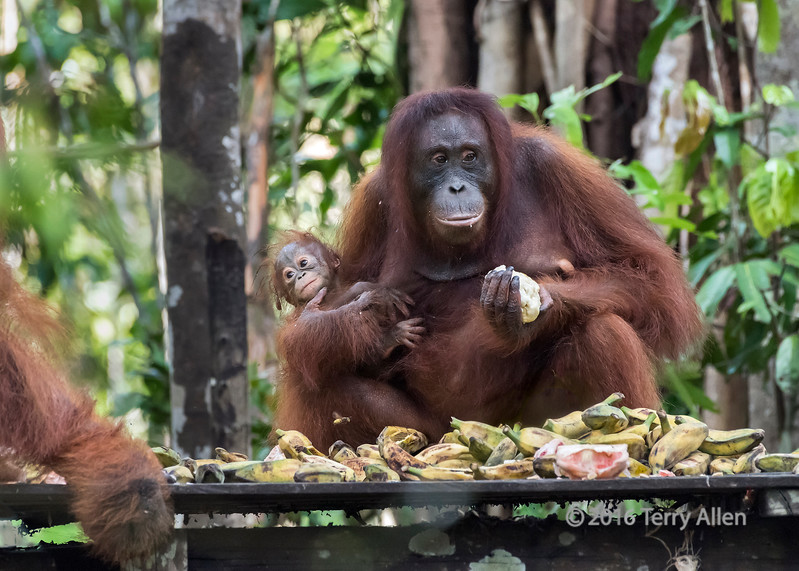 Baby and mother frightened of a large male orangutan, feeding station, Tanjung Puting NP, Indonesia
