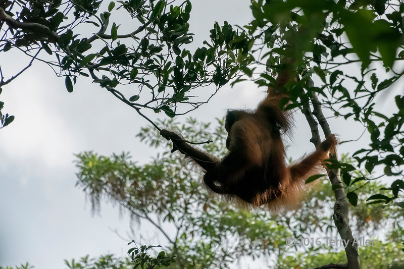 Orangutan swimging throught the trees, Tanjung Puting NP, Kalimantan, Indonesia
